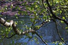 Filiali della betulla sopra il lago Fotografia Stock