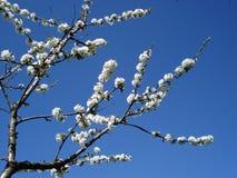 Filiali della dolce-ciliegia Fotografia Stock Libera da Diritti