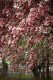 Filiali della magnolia Immagine Stock Libera da Diritti