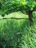 Filiali della quercia e canne verdi dell'erba Immagini Stock Libere da Diritti