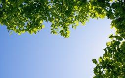 Filiali della quercia su cielo blu Fotografie Stock Libere da Diritti