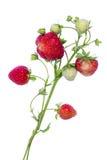 Filiali delle fragole isolate Fotografia Stock Libera da Diritti