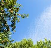 Filiali di alberi su cielo blu Immagine Stock
