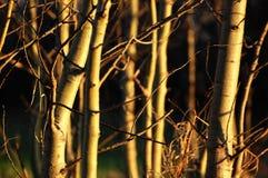 Filiali di albero Immagine Stock