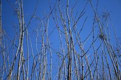 Filiali di albero che raggiungono per il cielo blu Fotografia Stock