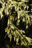 Filiali di albero con i licheni Immagini Stock