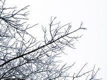 Filiali di albero congelate Immagine Stock Libera da Diritti