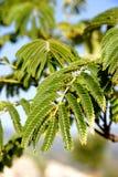 Filiali di albero del Mimosa Fotografia Stock Libera da Diritti