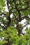 Filiali di albero della quercia Fotografie Stock