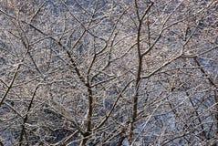 Filiali di albero di inverno Immagine Stock