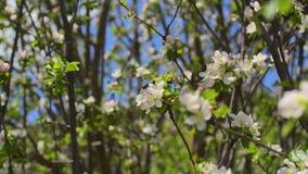 Filiali di albero di fioritura archivi video