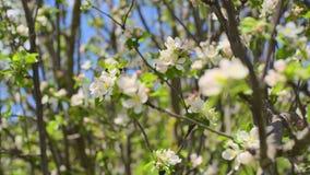 Filiali di albero di fioritura stock footage