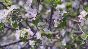 Filiali di albero di fioritura video d archivio