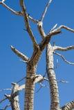 Filiali di albero guasti Immagine Stock Libera da Diritti