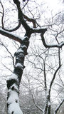 Filiali di albero innevate Fotografie Stock Libere da Diritti