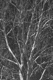 Filiali di albero monocromatiche Fotografie Stock Libere da Diritti