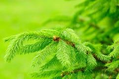 Filiali di albero verdi dell'abete Fotografia Stock Libera da Diritti