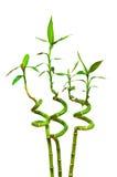 Filiali di bambù isolate Immagini Stock Libere da Diritti