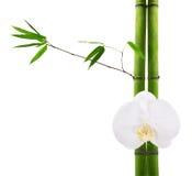 Filiali di bambù verdi e fiore bianco dell'orchidea Fotografia Stock