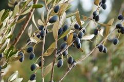 Filiali di di olivo Immagini Stock Libere da Diritti