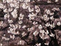 Filiali di Sakura Immagini Stock Libere da Diritti