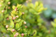 Filiali e fogli verdi del crespino Immagini Stock