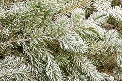 Filiali gelide del pino Fotografia Stock Libera da Diritti