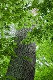 Filiali monumentali del trung e del hornbeam dell'albero di quercia immagine stock libera da diritti