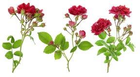 Filiali rosse isolate delle rose impostate fotografia stock