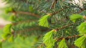 Filiali spinose brillantemente verdi di un pelliccia-albero o di un pino Fotografie Stock Libere da Diritti