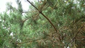 Filiali verdi del pino Rami verdi dell'albero o del pino di abete stock footage