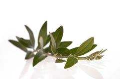 filialolivgrön Arkivfoton