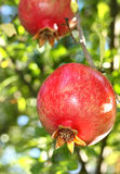 filialpomegranate Arkivfoton