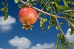 filialpomegranate Royaltyfri Foto
