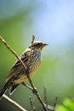 filialsparrow Arkivbild