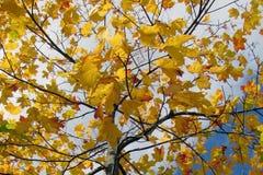 Filialträd med höstarket Royaltyfri Fotografi