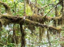 Filialträd med lavUsneaexasperataen Arkivbilder