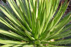 Filifera da agave, fundo suculento da planta na luz solar foto de stock