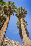 Filifera Washingtonia φοινίκων ανεμιστήρων στη χαμένη όαση φοινικών, ένα δημοφιλές σημείο πεζοπορίας, εθνικό πάρκο δέντρων του Jo στοκ φωτογραφία με δικαίωμα ελεύθερης χρήσης