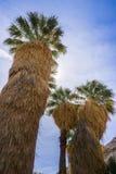 Filifera Washingtonia φοινίκων ανεμιστήρων στη χαμένη όαση φοινικών, ένα δημοφιλές σημείο πεζοπορίας, εθνικό πάρκο δέντρων του Jo στοκ εικόνα