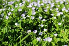 Filiformis de Veronica Usine herbac?e ?ternelle image libre de droits