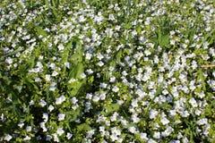 Filiformis de Veronica Usine herbac?e ?ternelle photos libres de droits