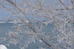 A filigrana delicato dei rami ghiacciati Immagini Stock