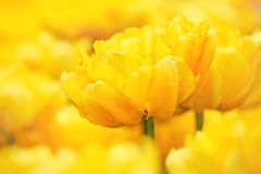 Filigranowi żółci tulipany kwitnęli w wczesnej wiośnie w miasto parku, zakończenie up strzelali Fotografia Royalty Free