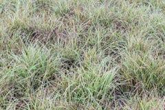 Filigree grass texture,Miscanthus Stock Photos