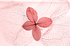 Filigree physalis skeleton and dried hydrangea blossom. Light pink toned Stock Image