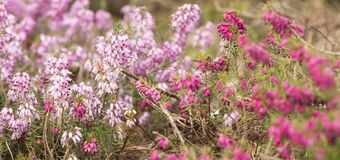 Filigree pink Heather herbs Erica. With many flowered Royalty Free Stock Photography