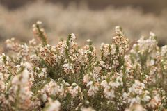 Filigree white Heather herbs Erica royalty free stock images