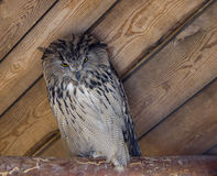 Filin. Wonderful owl on the farm after lunch Stock Photos