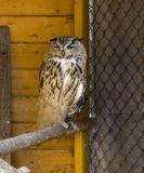 Filin. Wonderful owl on the farm after lunch Royalty Free Stock Photos